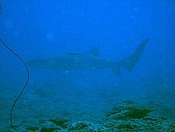 06-30オオテンジクザメ.jpg